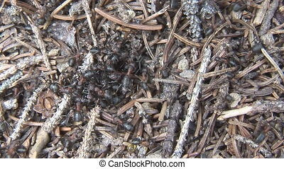 nature series ? ant hill 004 - Closeup of an anthill with...