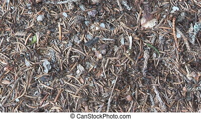 Nature series - ant hill 001 - lots of busy ants on an...