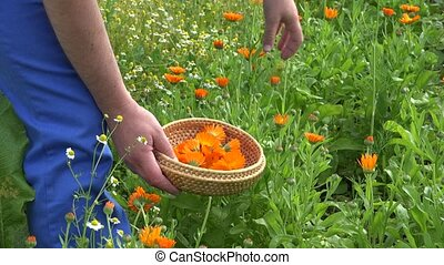 Male hands gather marigold calendula herb blooms to wicker dish. 4K