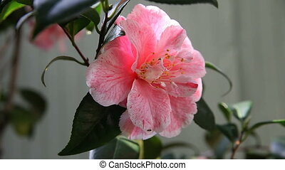 camellia with ants