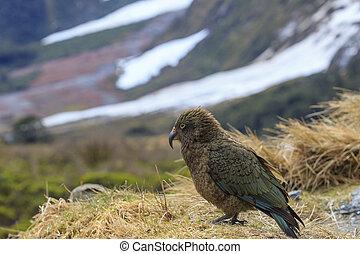 Seeland, natürlich,  kea,  wild, neu, Vogel