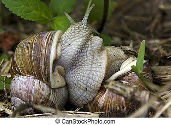 helix snails - two helix snails