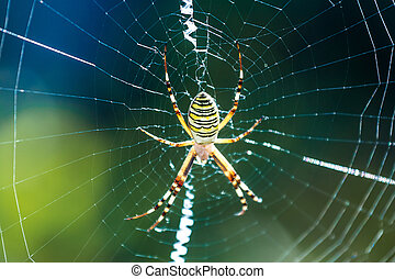 The beautiful spider braids the web