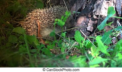 The hedgehog lives in woodland, farmland and suburban...