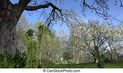 fruit tree branch blooms, fern buds in spring time garden....