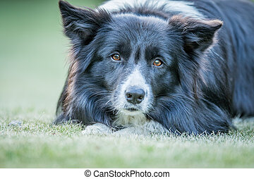 Border Collie dog starring at the camera. - Starring Border...