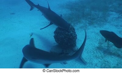 Dangerous Shark Underwater Video - Underwater Cuba Caribbean...