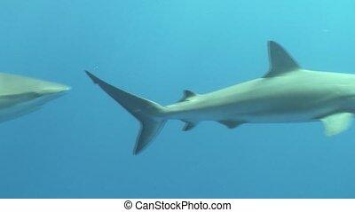 Dangerous Shark Underwater Video