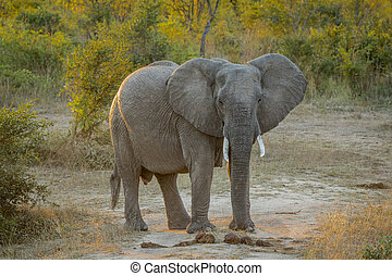Big Elephant starring in the Kruger. - Starring Elephant in...