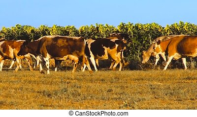 Cows with sunflowers - Cows in the field with beautiful...