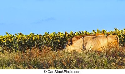 Cows with sunflowers