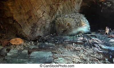 The hedgehog lives in woodland, farmland and suburban areas.
