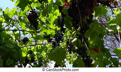 Grapes adorn canopy in the yard - Bunches of natural grapes...