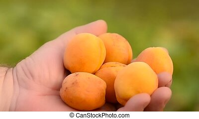 Apricots in a hand. - Beautiful orange apricots in a male...