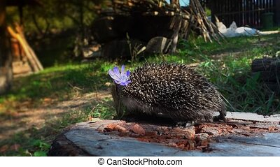 Sweet hedgehog in nature.European Hedgehog (Erinaceus...