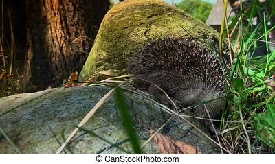 Sweet hedgehog in nature. - The hedgehog lives in woodland,...