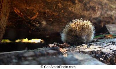Sweet hedgehog in nature.European Hedgehog (Erinaceus...