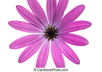 Osteospermum Daisy or Cape Daisy Flower Flower Isolated over...