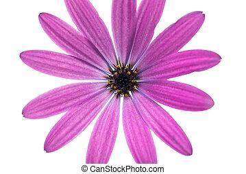 Osteospermum Daisy or Cape Daisy Flower Flower Isolated over...