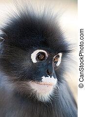 Dusky Leaf Monkey Ao Manao, Thailand