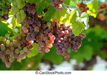 bunch of grapes on vine - picture of a bunch of grapes on...