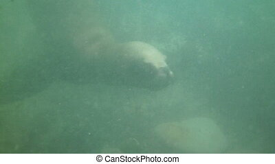Sea lions swimming underwater in Punta Loma, Puerto Madrin,...