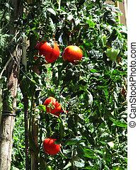 Tomato plants a - Tomato plants that ripen in the sun