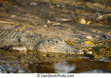 Saltwater Crocodile, Yellow River, Australia - Saltwater...
