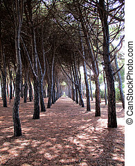 pine forest of pine trees a