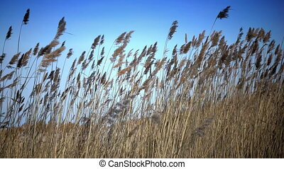 The dry cane waves on a background of the blue sky