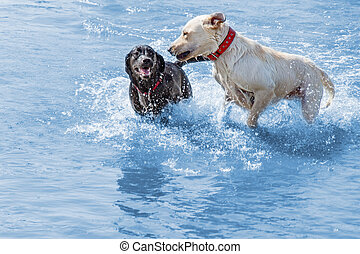 Labrador dogs enjoying shallow water, running and playing