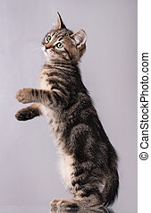 Cute little kitten over grey background