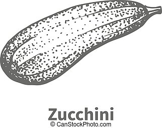 Vector illustration hand-drawn zucchini
