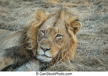 Huge male Lion starring. - Starring male Lion in the Kapama...