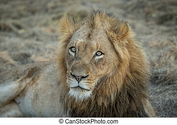 Huge male Lion starring - Starring male Lion in the Kapama...