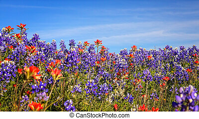 Field of Texas Spring Wildflowers - bluebonnets and indian paintbrush