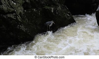 Heron bird fishing by fast river