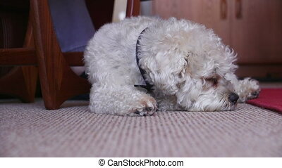 Sleepy Dog at Home - Shih Tzu breed dog sleeping on the...