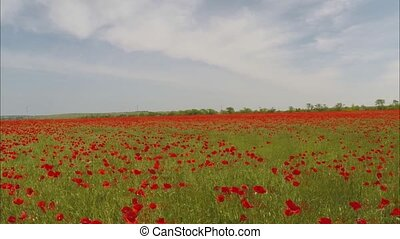 Field with poppies - Landscape with thousands red poppies in...