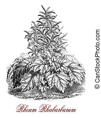 Rheum rhabarbarum or Rhubarb, botanical vintage engraving -...