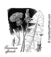 Taraxacum officinale or common dandelium, botanical vintage...