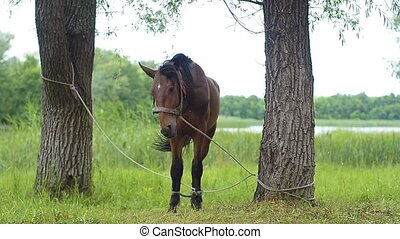 Horse tied to a tree.
