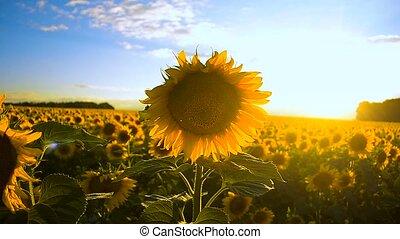 Sunflowers on a sunset. - Beautiful field of yellow...