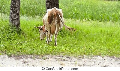 Cow eats a grass - Cow tied to a tree eats a green grass on...