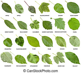 collage from green leaves of trees with names - collage from...
