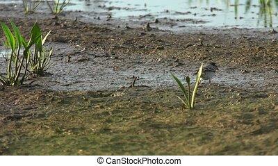 Wagtail in natural environment. White wagtail (motacilla...