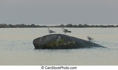 Three Seagulls standing on large stone in calm sea in early...