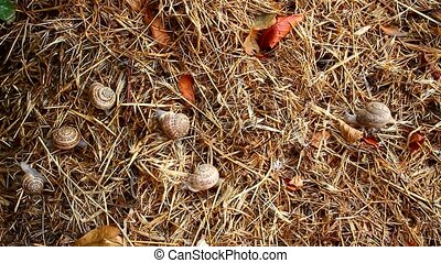 garden snail on straw - Garden snail crawling on the straw...