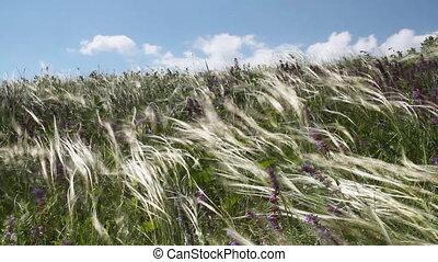Feather Grass - Summer Landscape. Feather Grass Under Strong...