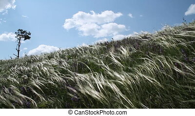 Feather Grass - Summer Landscape Feather Grass Under Strong...